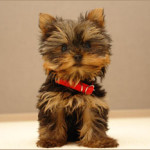 Puppy Training:  Housebreaking Tips for the New Member of Your Family