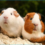 What Healthy Guinea Pigs Should Be Eating