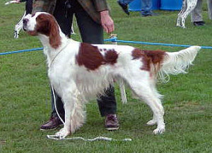 Irish_Red_And_White_Setter_2005