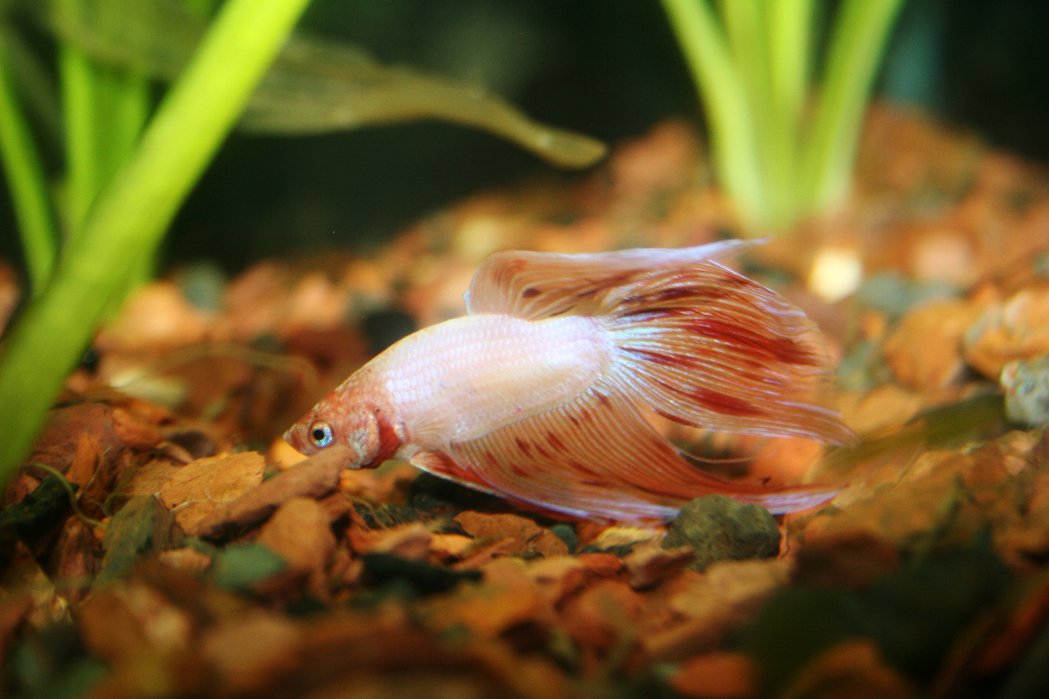 Top 5 easiest classroom pets that pet blog for Male veiltail betta fish