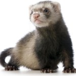 Is a ferret the right pet for your home?