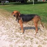 irish-kerry-beagle